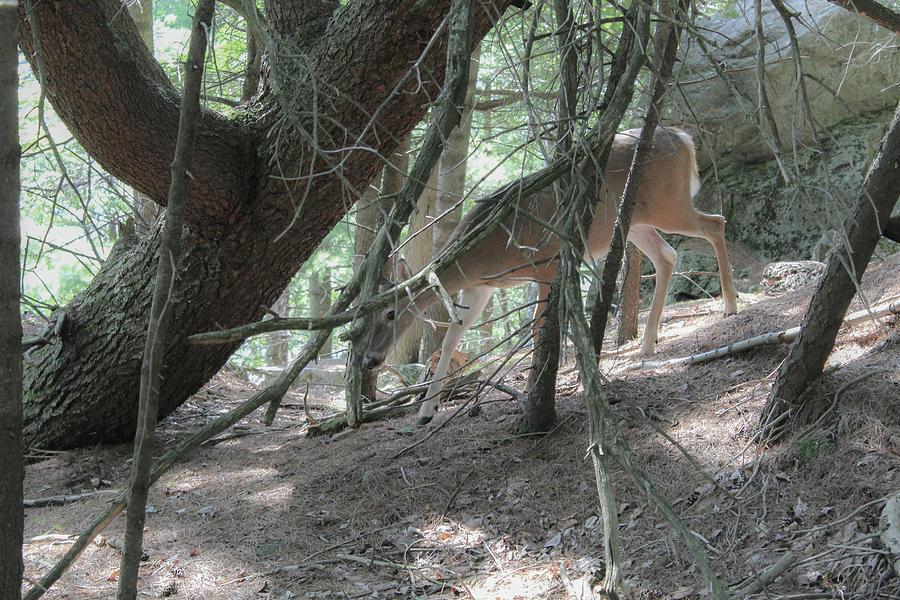 Deer Photograph - Deer by Julien Boutin