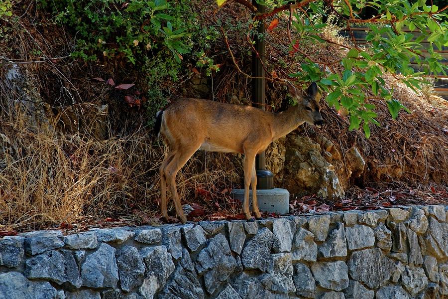 Deer by Peter Ponzio