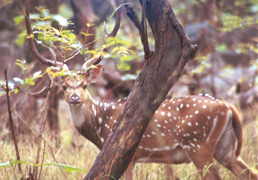 Deer Photograph by Rakesh Sharma