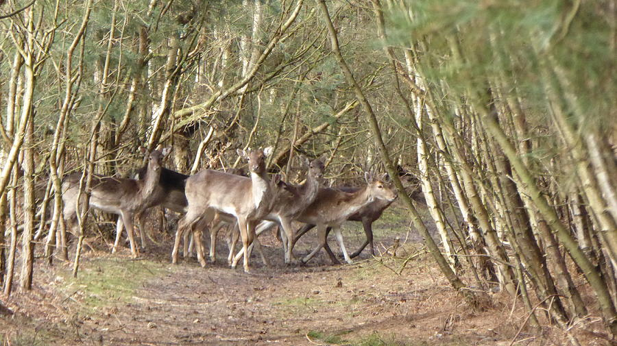 Animal Photograph - Deer Walking Across Forest Path by Richard Griffin