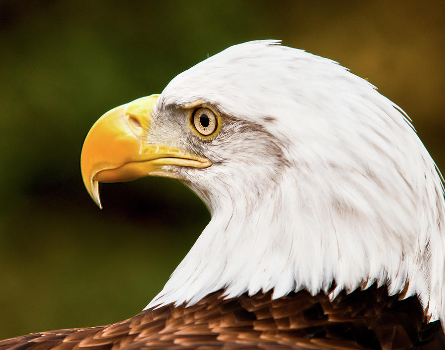 Bald Eagle Photograph - Defiance by Ron  McGinnis