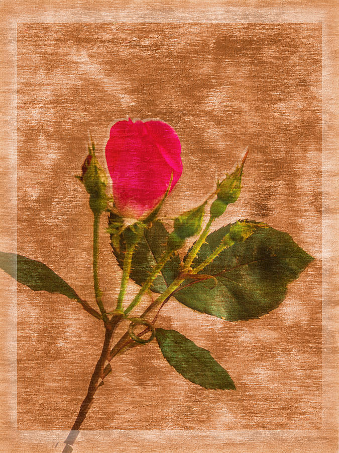 Textured Photograph - Delicate Bloom - Textured Rose by Barry Jones