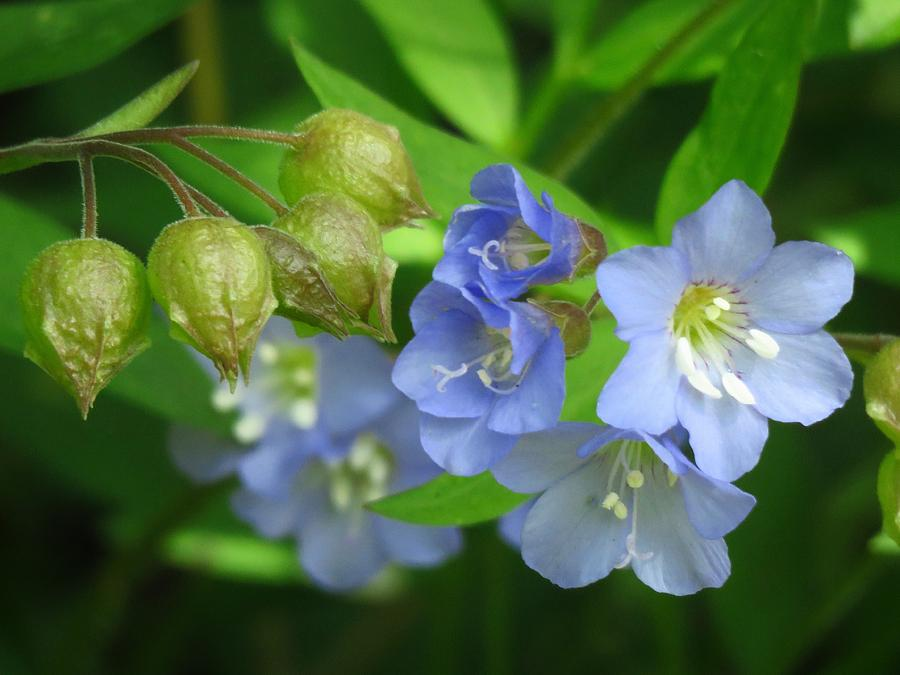 Wildflowers Photograph - Delicate Blues by Lori Frisch