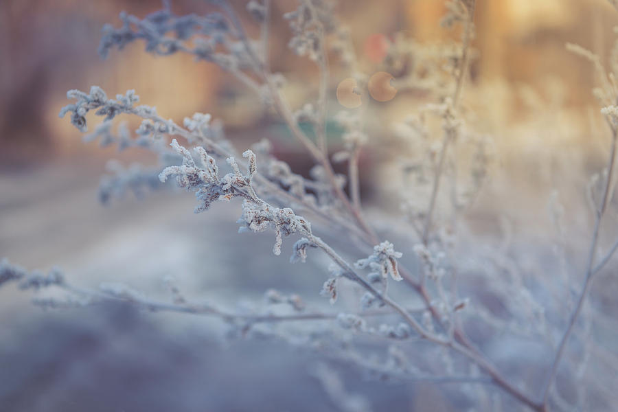 Delicate Branches In Frosty Frost. Winter Theme Photograph
