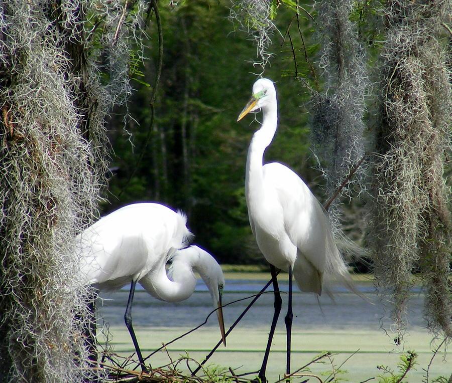 White Egrets Photograph - Delicate Egret Romance by Elena Tudor