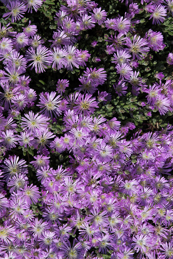 Delicate Lavender Ice Plant by Deana Glenz
