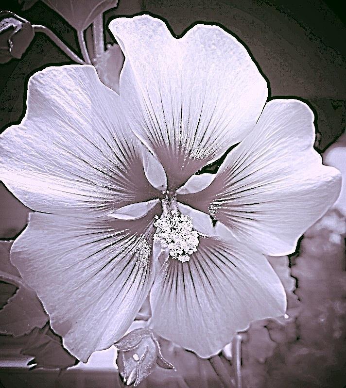 Delicate Petite Fleur En Noir Et Blanc Photograph By Shirley Anderson