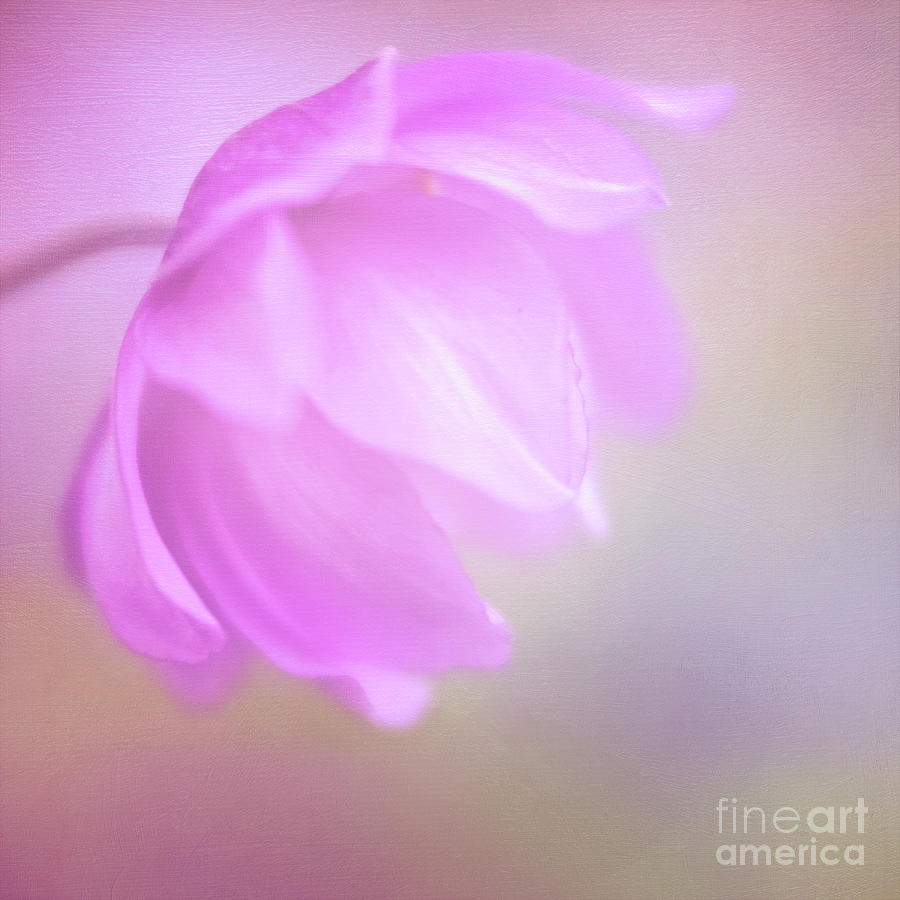Delicate Pink Anemone by Anita Pollak