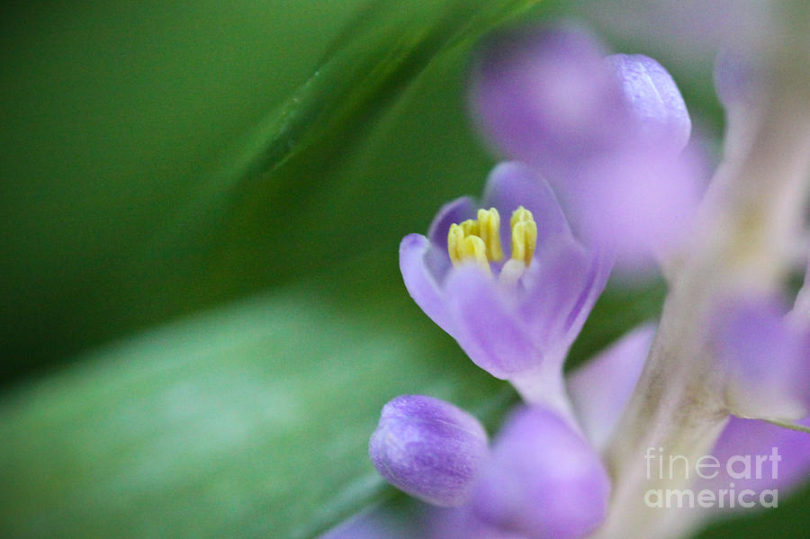 ryankellyphotography@gmail.com Photograph - Delicate Purple Flower by Ryan Kelly
