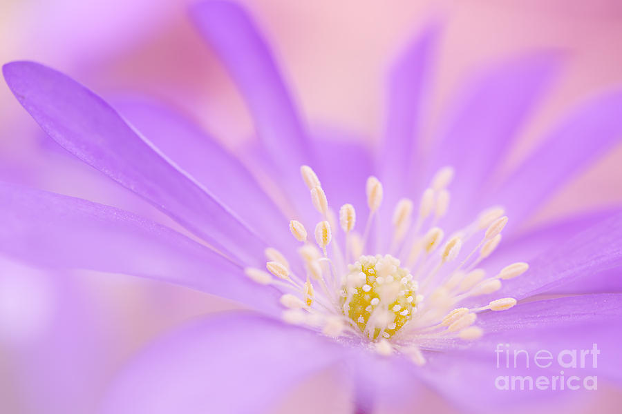 Delicate Purple.... Photograph