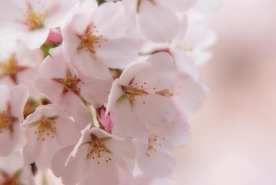 Cherry Blossom Trees Photograph - Delicate Spring Blooms by Angie Tirado