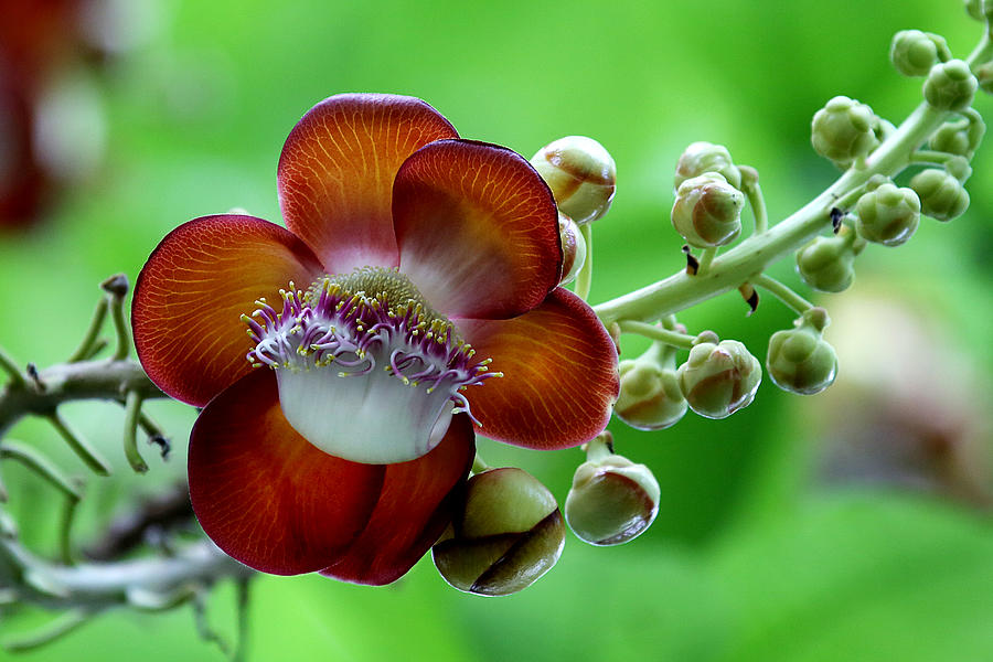Flower Photograph - Delicately Veined ... With Tentacles by Debi Dalio