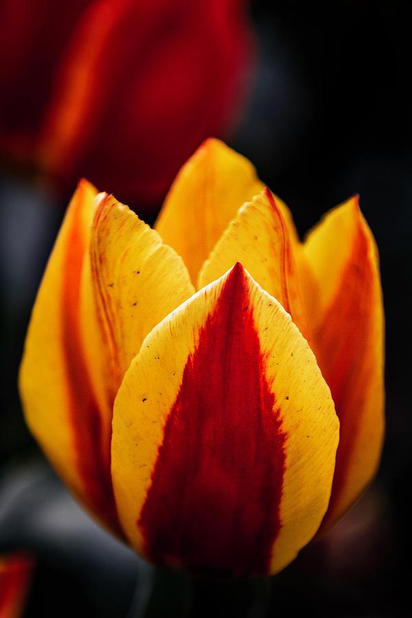 Tulip Photograph - Deliciosa by Edward Kreis