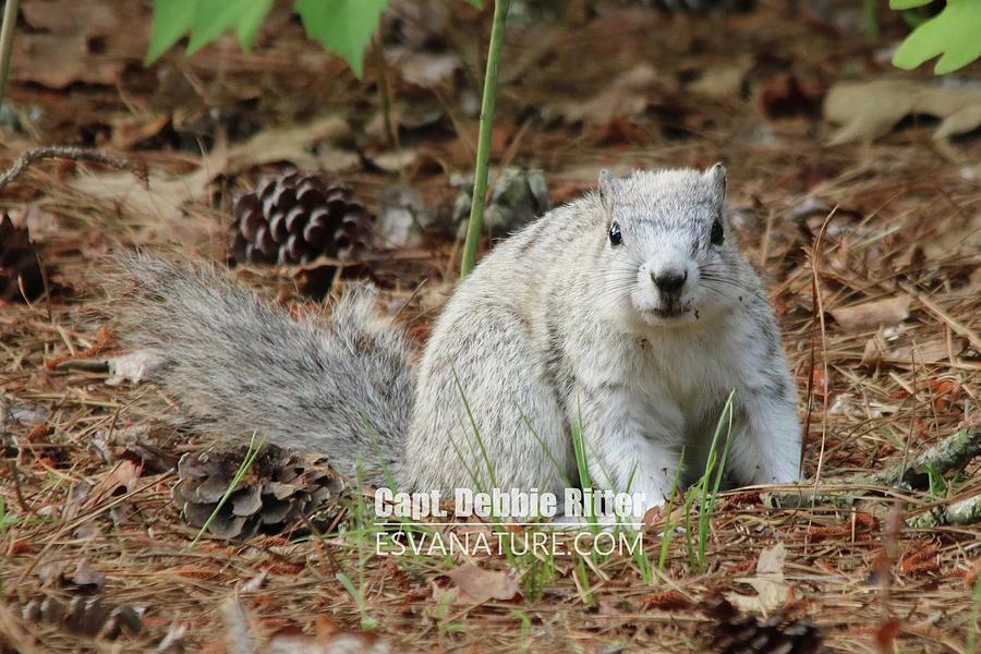 Delmarva Fox Squirrel Photograph - Delmarva Fox Squirrel 3809 by Captain Debbie Ritter