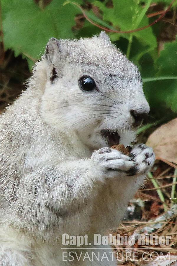 Delmarva Fox Squirrel Photograph - Delmarva Fox Squirrel 3832 by Captain Debbie Ritter