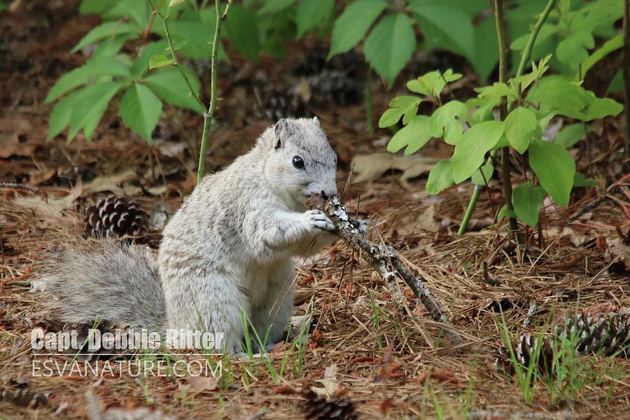 Delmarva Fox Squirrel Photograph - Delmarva Fox Squirrel by Captain Debbie Ritter