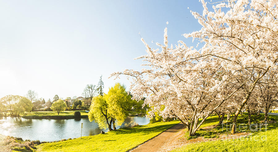 Deloraine Cherry Tree Panorama Photograph by Jorgo Photography ...