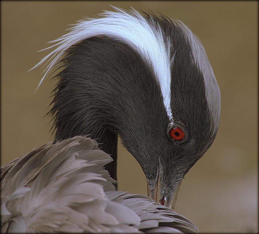 Demoiselle Crane by Jaime Mercado