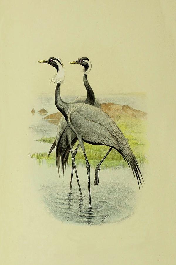 Demoiselle Cranes By Thorburn Mixed Media by Archibald Thorburn