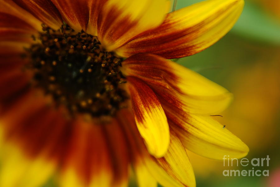 Sunflower Photograph - Demure by Michelle Hastings