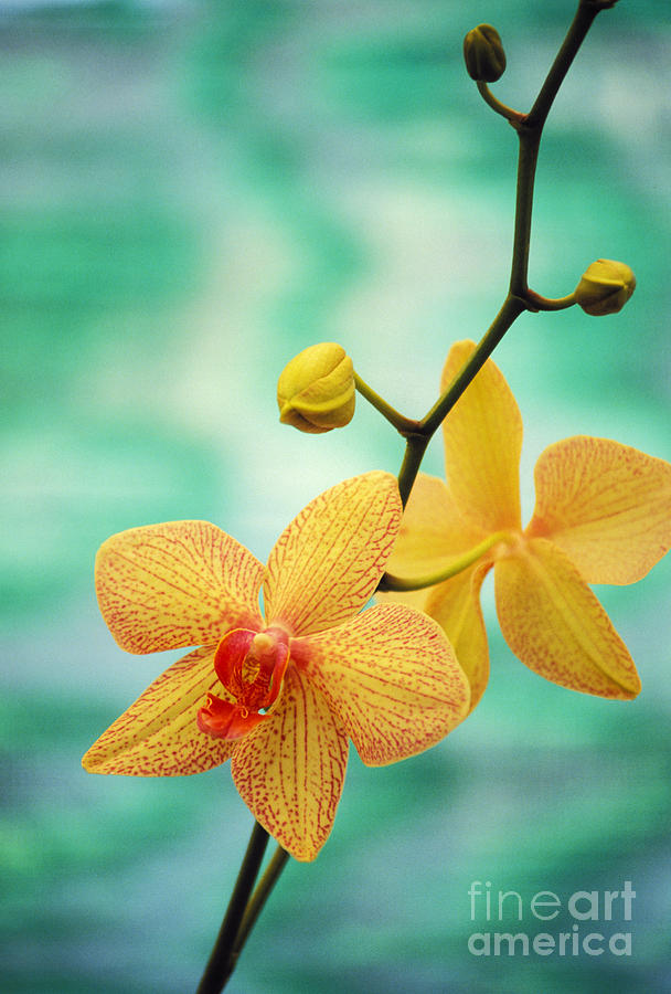 Beautiful Photograph - Dendrobium by Allan Seiden - Printscapes