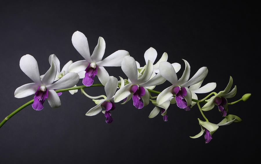 Dendrobium Photograph - Dendrobium Orchid by Lynn Berreitter