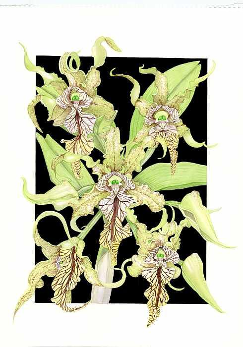 Orchids Painting - Dendrobium Spectabile by Darren James Sturrock