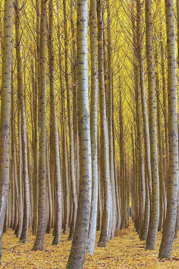 Poplar Photograph - Dense Forest Of Poplar Trees In Boardman Oregon During Fall by David Gn