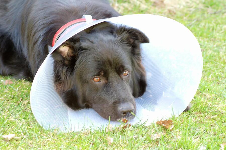 Depressed Dog Photograph by Esko Lindell