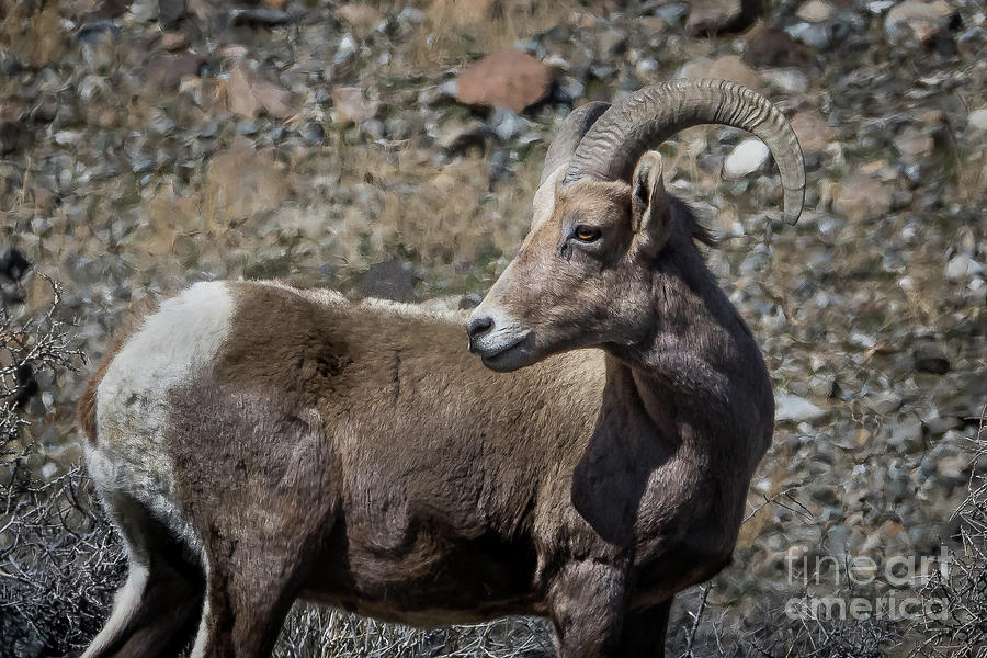 Wildlife Photograph - Desert Big Horn Sheep by Webb Canepa
