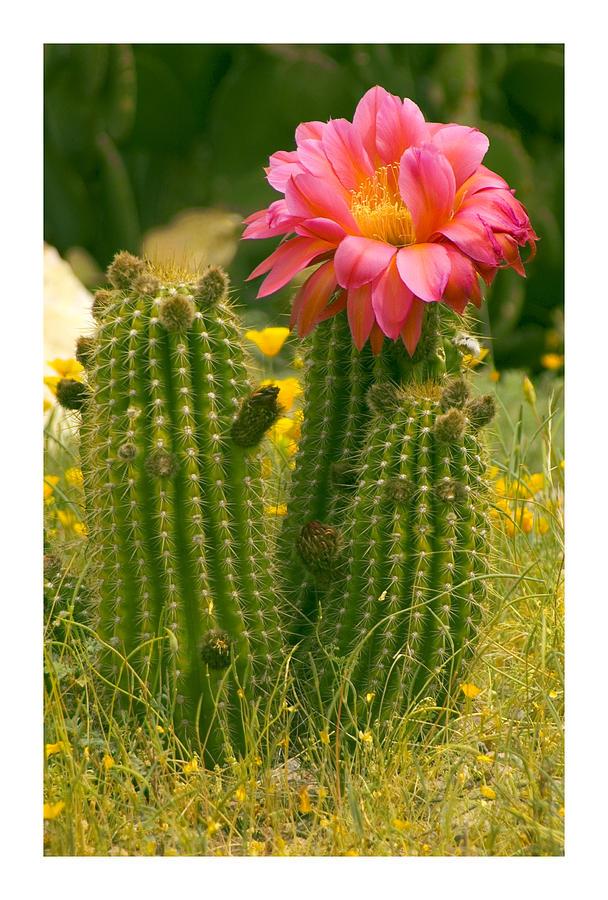 Desert Bloom Photograph by R Thomas Berner