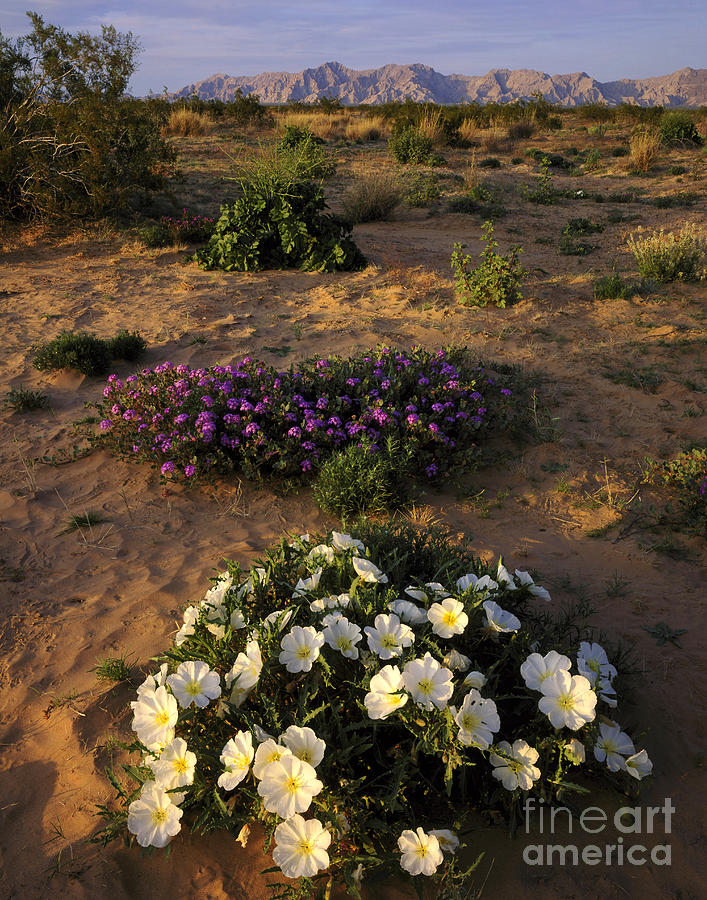 Desert Flowers Arizona Photograph By Willard Clay