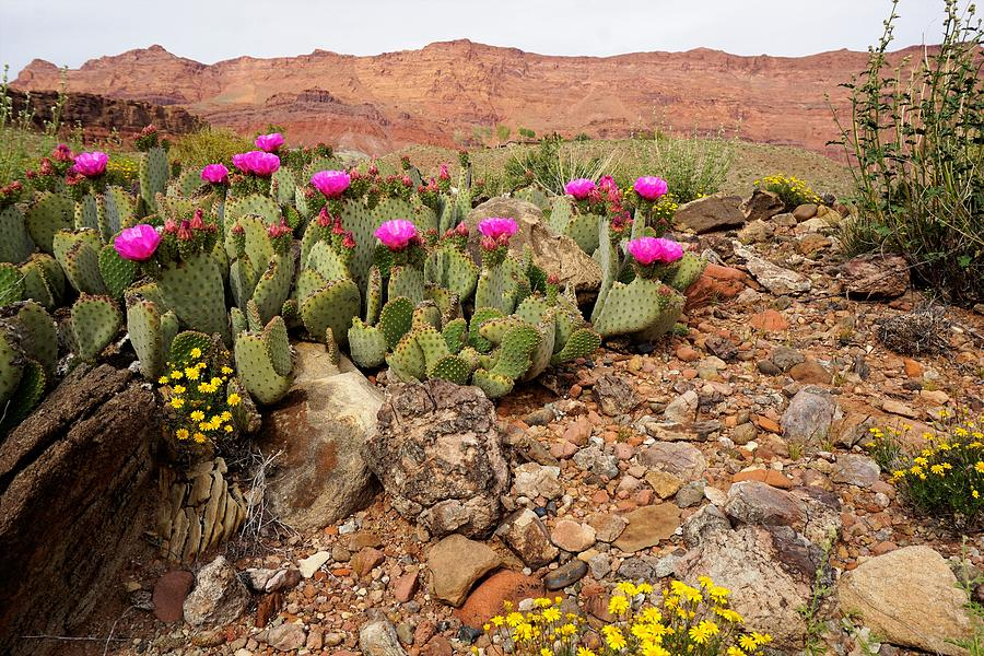 Desert Cactus in Bloom by Tranquil Light Photography