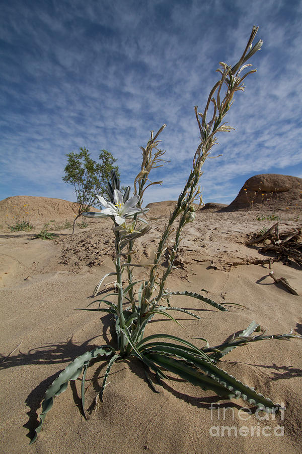 Desert Lilly by Photography by Laura Lee