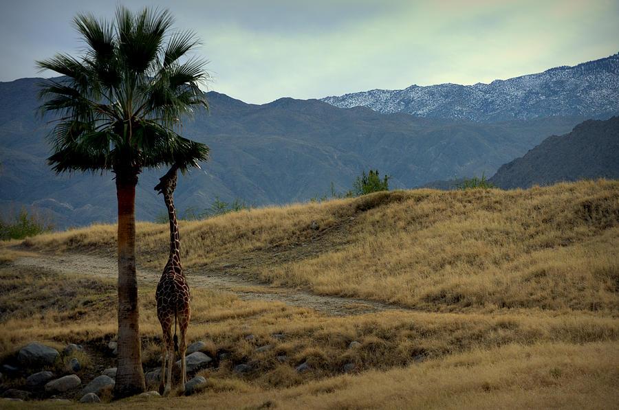 Desert Palm Giraffe 001 by Guy Hoffman