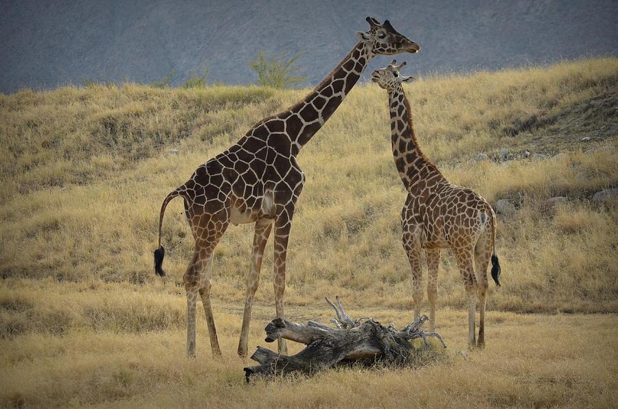 Desert Palm Giraffe by Guy Hoffman