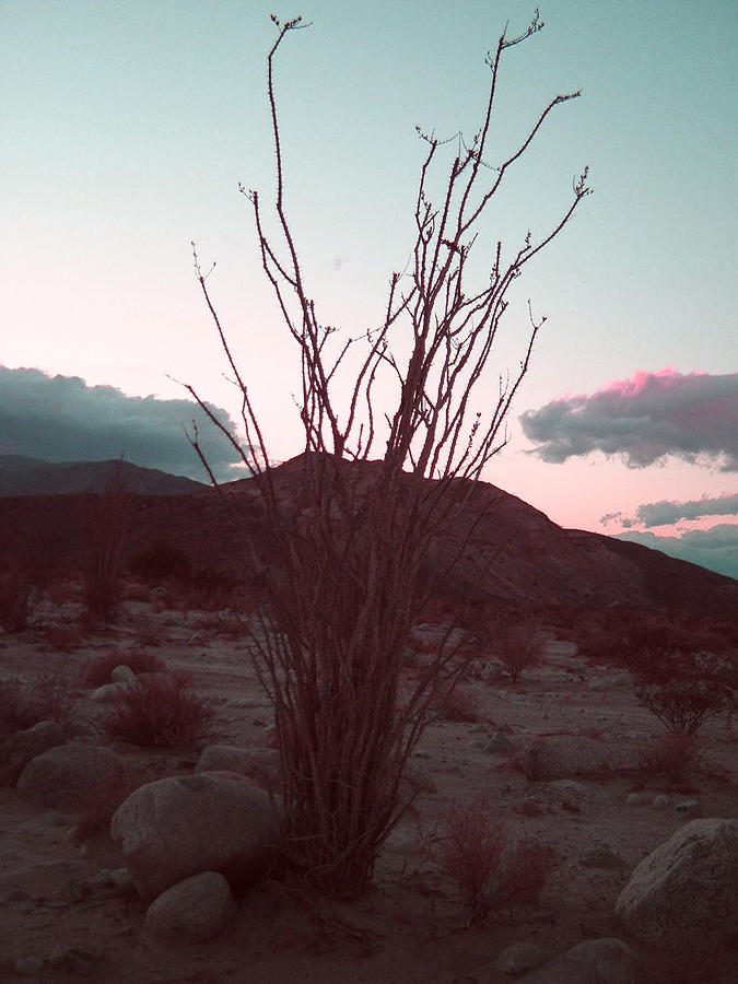Desert Plant Photograph - Desert Plant and Sunset by Naxart Studio
