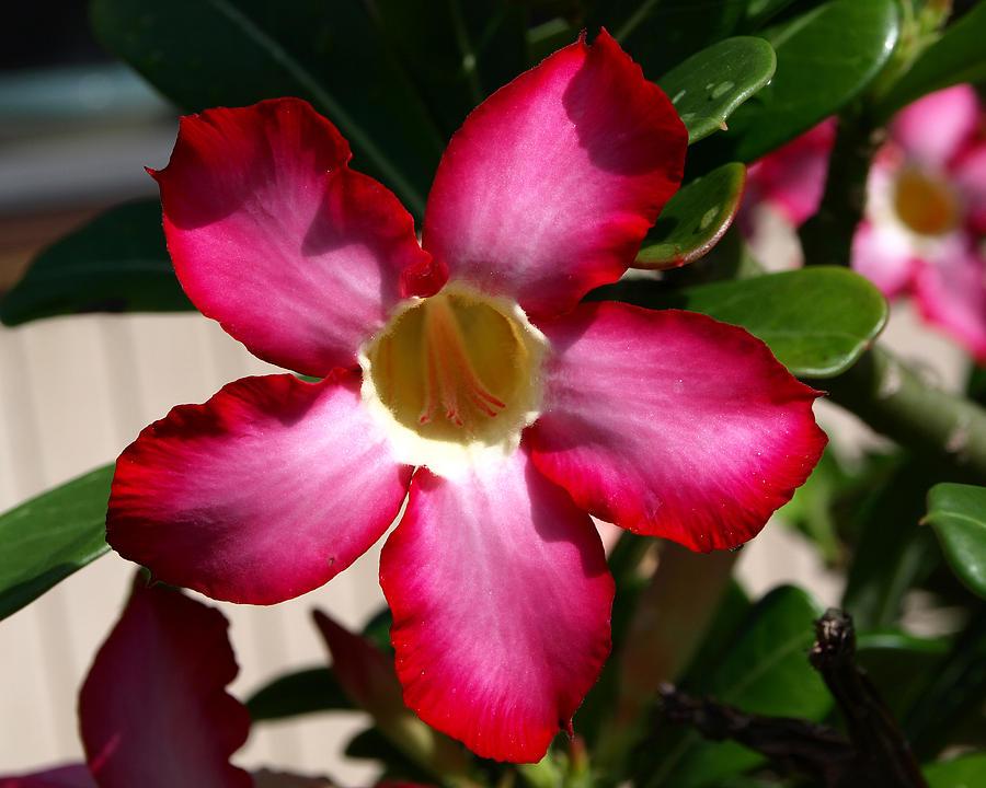 Desert Rose Photograph by Allan  Hughes