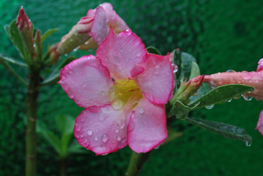 Rose Photograph - Desert Rose On Green by John Roncinske