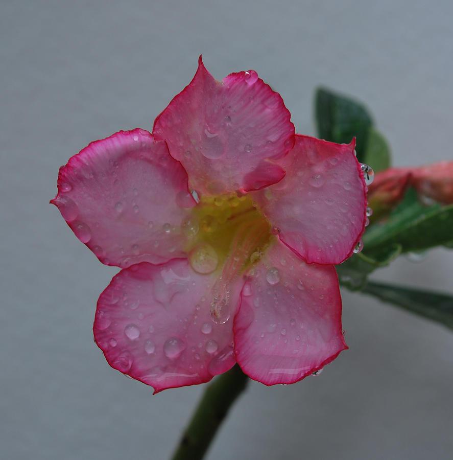 Rose Photograph - Desert Rose On White by John Roncinske