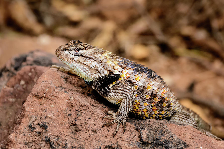 Closeup Photograph - Desert Spiny Lizard by Emily Bristor
