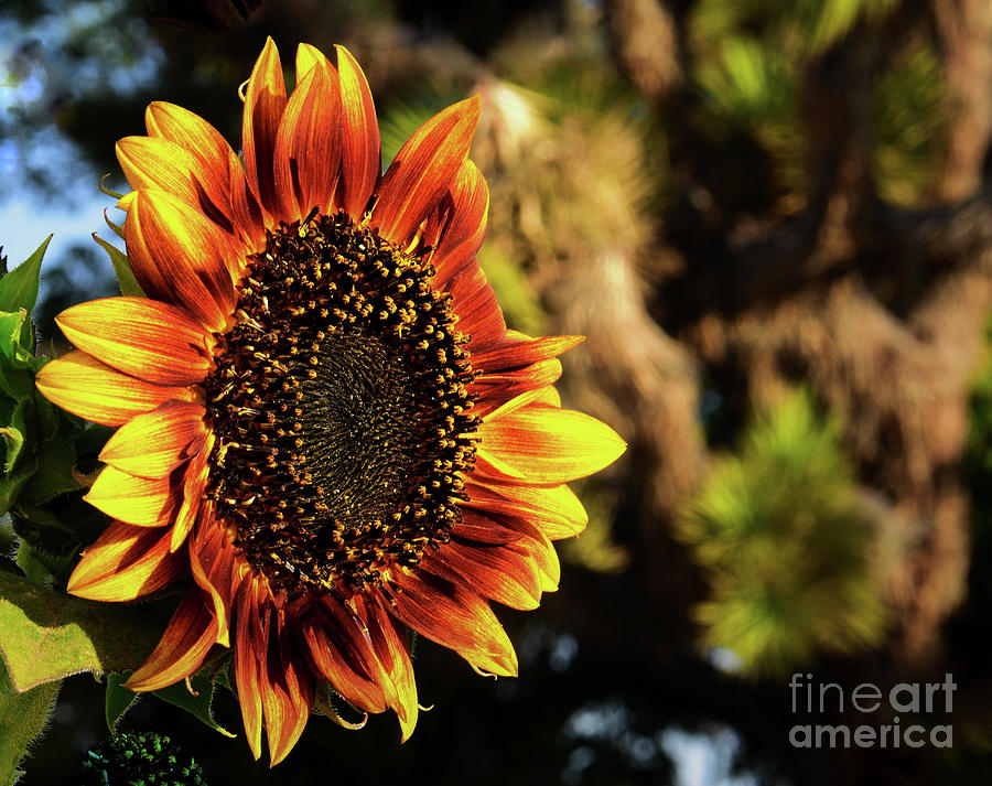 DeserT SunfloweR by Angela J Wright