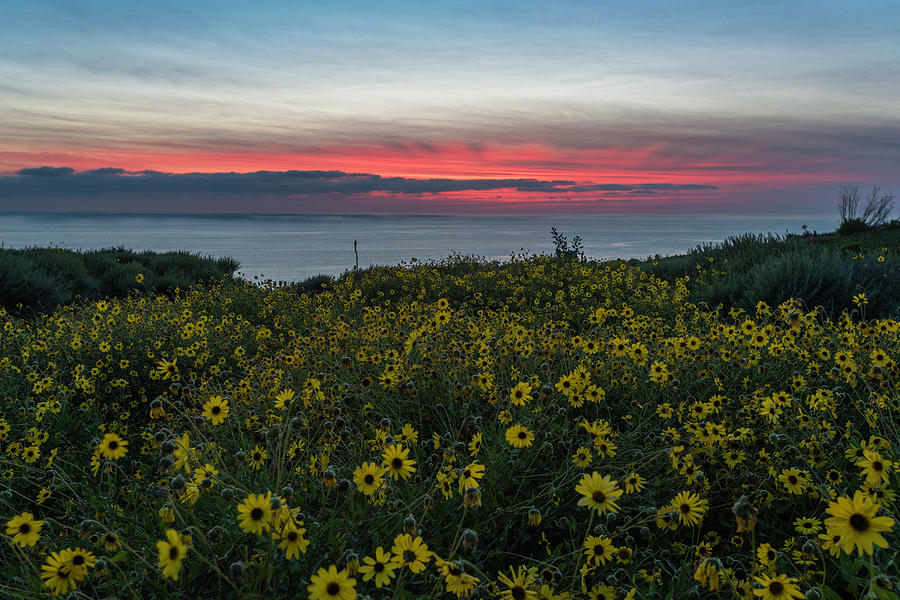 Landscape Photograph - Desert Sunflowers Coastal Sunset by Scott Cunningham