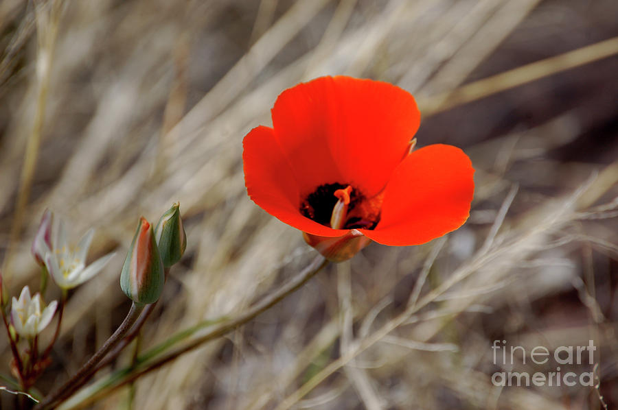 Desert Wildflower by Frank Stallone