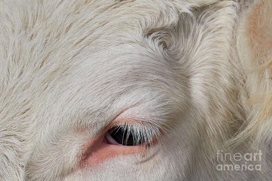 Detail Of The Head Of A Cow Photograph