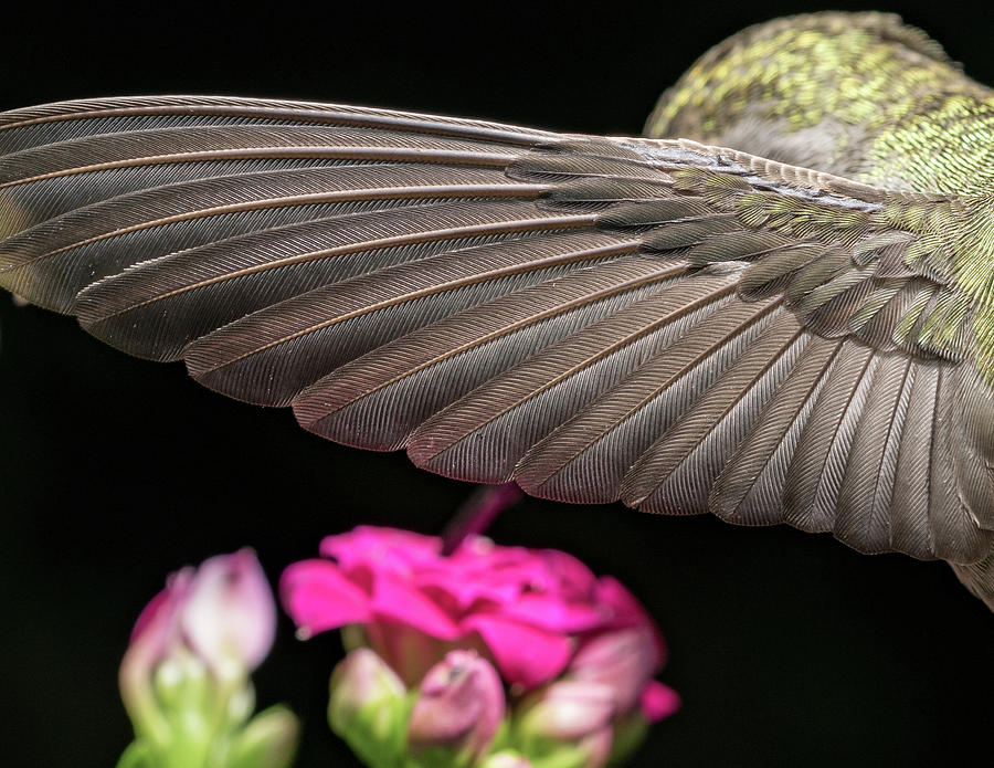 Animal Photograph - Details Of The Hummingbird Wing by William Freebilly photography