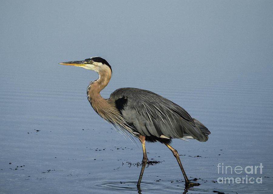 Heron Photograph - Determination - Great Blue Heron by Helen Kubik