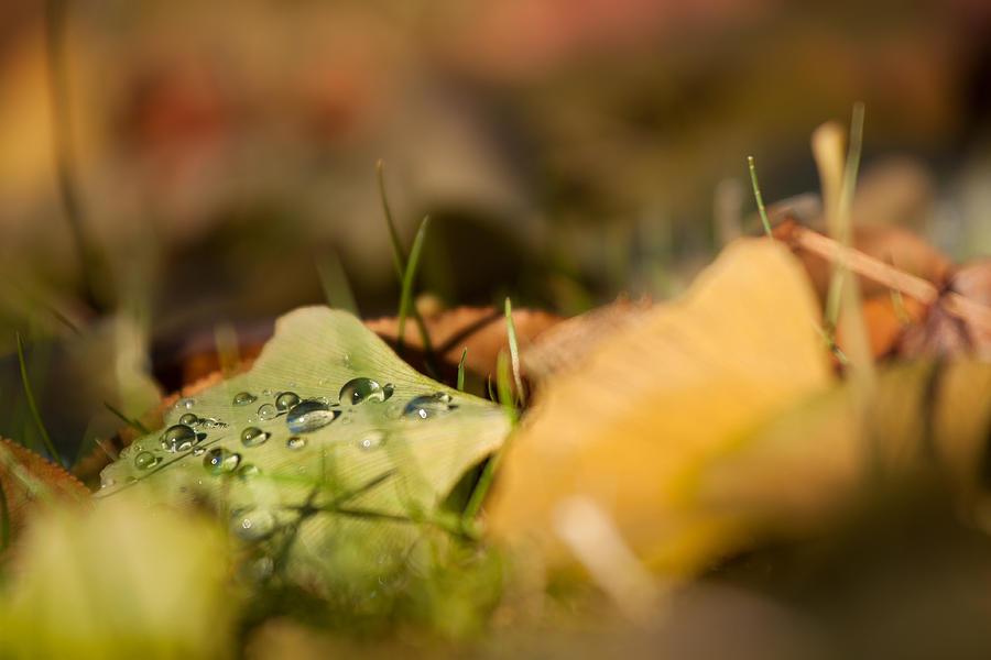 Dew And Gingko  Photograph by Bulik Elena