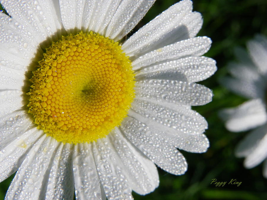 Nature Photograph - Dew Dazzled Daisy by Peggy King