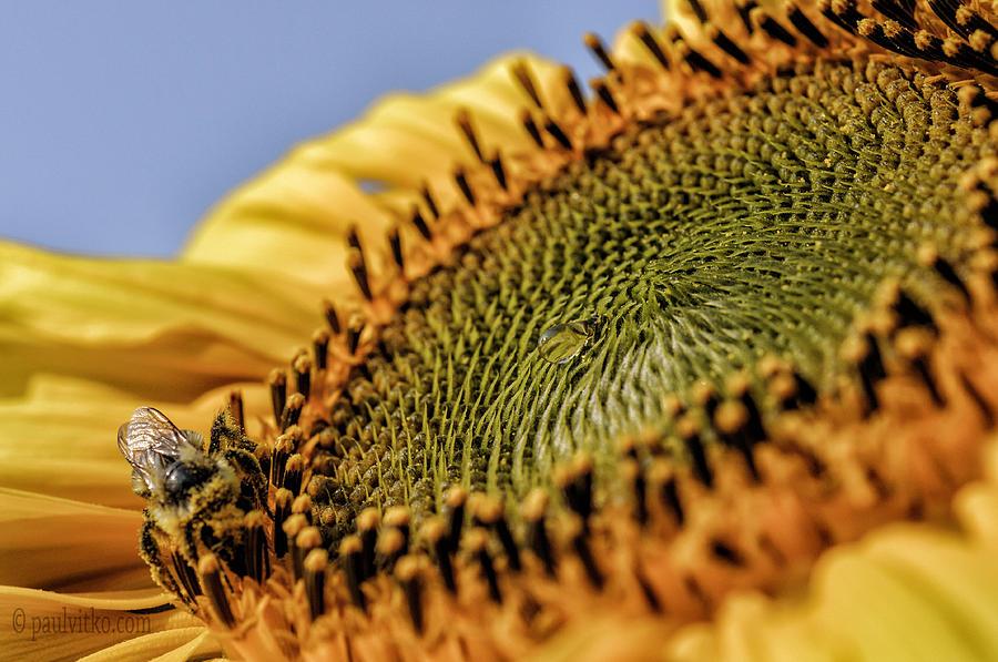 Bee Photograph - Dew Drop Bee.... by Paul Vitko